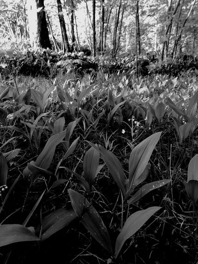 Lily Of The Valley Plant Growth Nature No People Beauty In Nature Outdoors Freshness Field Forestwalk After The Rain Woods Blackandwhite Waterdrops Light And Shadow Convallaria Majalis Finland Forest Flowers Wild Flowers