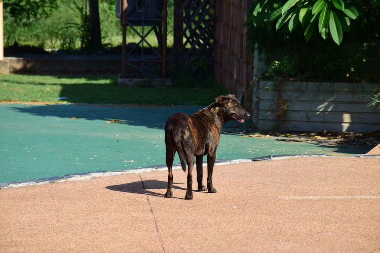 Dog standing by swimming pool