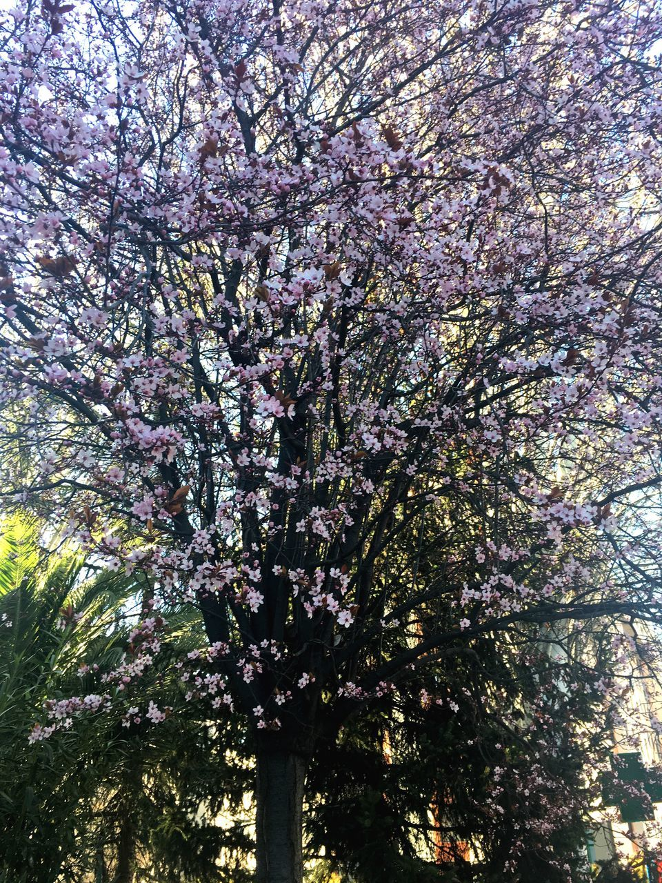 plant, tree, flower, growth, flowering plant, blossom, beauty in nature, springtime, branch, freshness, nature, low angle view, fragility, day, no people, cherry blossom, outdoors, cherry tree, vulnerability, pink color, spring, tree canopy