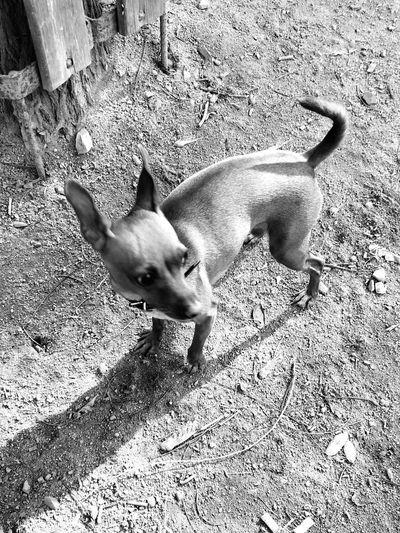 Mini Pinscher Mini Pincher One Animal Animal Animal Themes Domestic Domestic Animals Pets Dog Canine