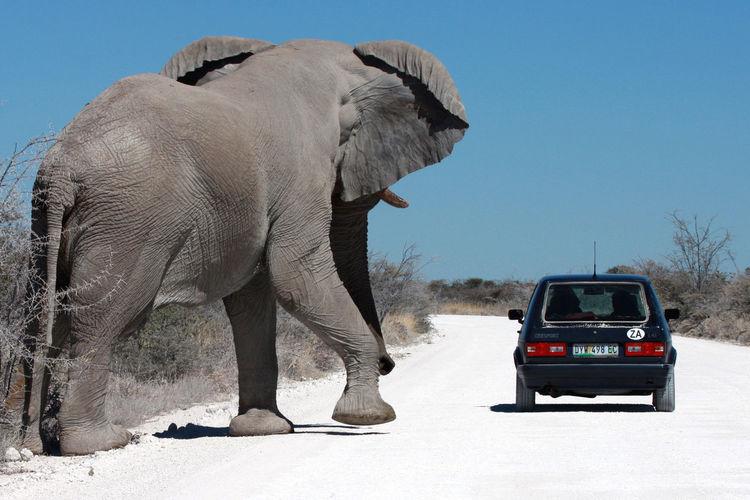 Africa Collection Africa Wildlife Etosha National Park Big Five Elephant KG-momentaufnahmen Namibia NamibiaPhotography Wildlife Photography Animal Animal Themes Animal Wildlife Animals In The Wild Big Five Animals Car Clear Sky Elephant Motor Vehicle Outdoors Road Safari Wildlife