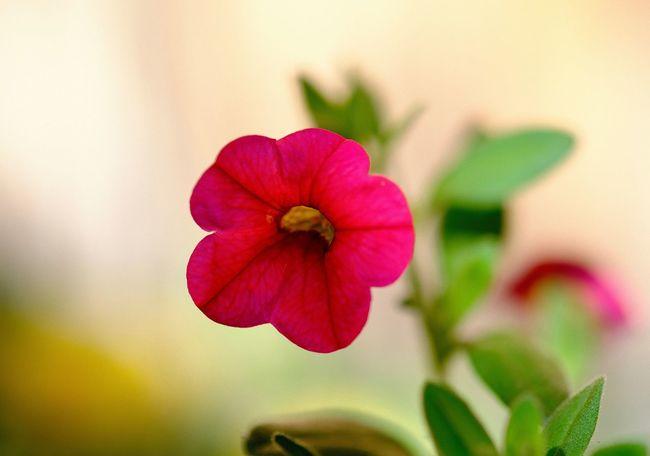 Close-up Flower Flower Head Flowering Plant Fragility Leaf Pink Color Plant Selective Focus Vulnerability