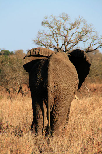 Africa African Elephant Animal Animal Body Part Animal Themes Animal Wildlife Animals In The Wild Beauty In Nature Day Elephant EyeEm Nature Lover Full Length Goodbye Grass Mammal Nature No People One Animal Outdoors Safari Safari Animals Sky Standing Tree Tusk