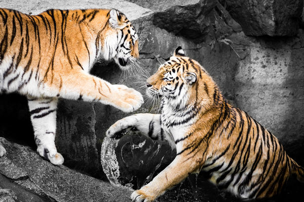 Two Tigers @ Tierpark Berlin Tierpark Berlin Tigers Animal Themes Animal Wildlife Animals In The Wild Colourkey Day Feline Leopard Mammal Nature No People One Animal Outdoors Playing Tiger
