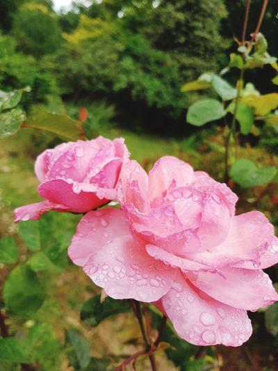 double rose Flower Head Flower Water Peony  Pink Color Petal Wild Rose Rose - Flower Close-up Plant Pale Pink RainDrop Rainy Season Rain Wet Droplet Rosé Dew Plant Life In Bloom