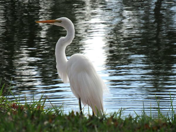 Animal Bird Egret Grassy Bank Tree Reflections Water Lakeside Photography