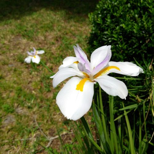 African Iris Frangipani Nature Flowers Purple & Yellow Easter Holy Week In Bloom Gardens Heavenly No Edit No Filter No People Landscapes My Florida Backyard Twins Beauty In Nature Blooming Break The Mold The Great Outdoors - 2017 EyeEm Awards Florida Lost In The Landscape