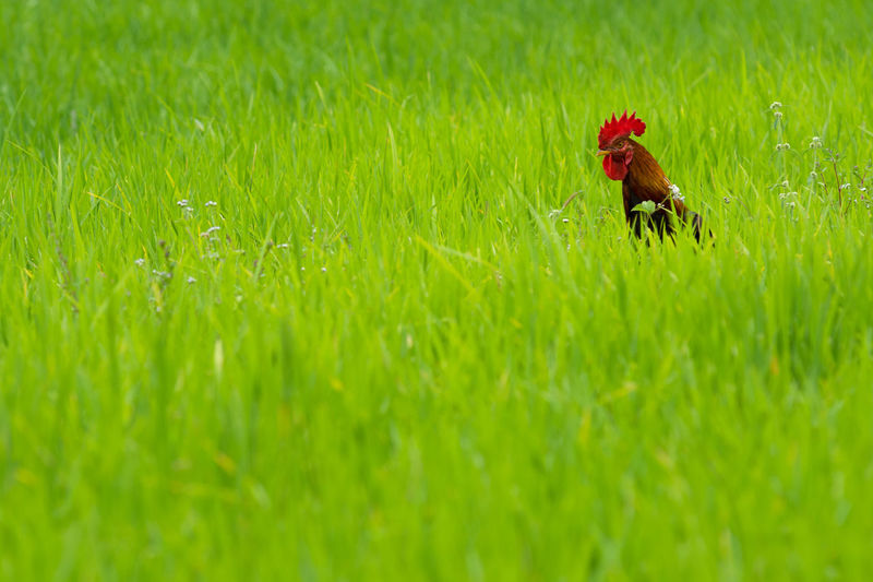 Rooster On Field