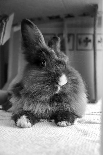Croatia Bunny