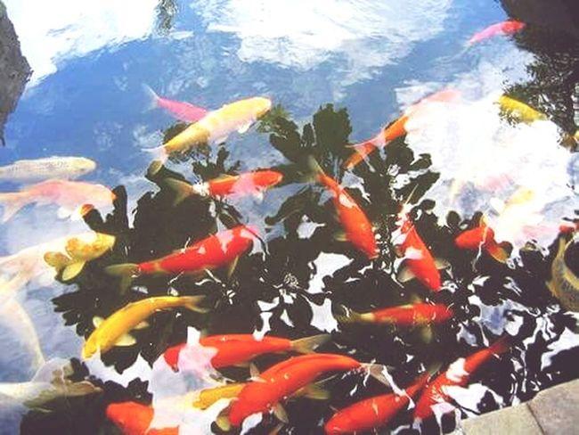 Koi Carp Fish Swimming Large Group Of Animals Outdoors No People Day Animal Themes Water Itsmorefuninthephilippines