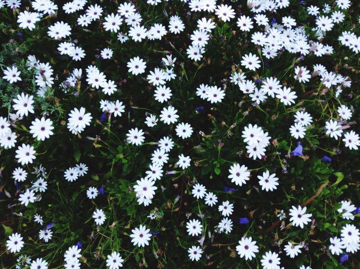 Full frame shot of white osteospermum flowers blooming outdoors