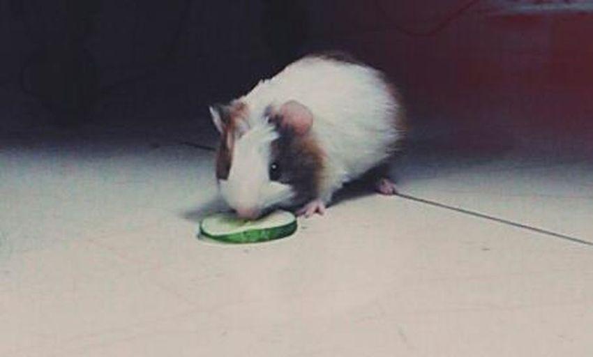 Domestic Animals GunieaPig Cucumber Love 😀😋 Animals