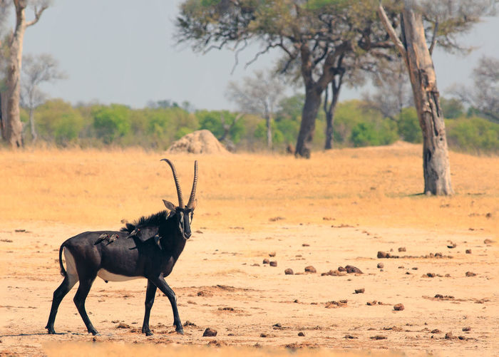 Beauty In Nature Animal Themes Animal Tree Mammal One Animal Animal Wildlife Field Animals In The Wild Nature No People Day Environment Landscape Side View Outdoors Herbivorous Dust Arid Climate Climate Sable Antelope Savannah Plains Hwange National Park Africa