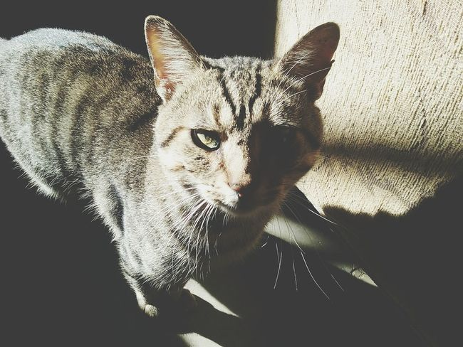 Domestic Cat Pets One Animal Looking At Camera Animal Themes Feline Cat Domestic Animals No People