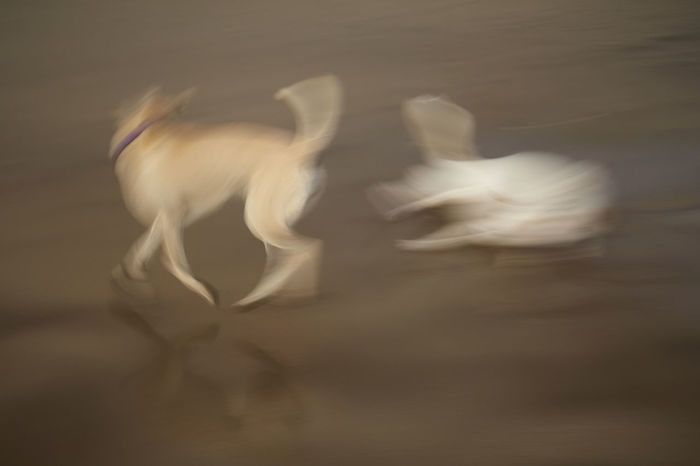 Wild dogs playing along Kuta Beach in Bali Animal Themes Beach Blurred Motion Blury Doglife Dogs Dogs Of EyeEm Dynamic In Motion Moving Camera Playing Russia Slow Shutter