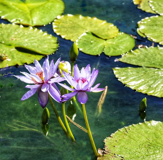 Purple lotus are blooming in the morning. Beauty In Ordinary Things Flower For Pray Beauty In Nature Water Lily Leaf Pond Flower Water Beauty In Nature Nature Flower Head Fragility No People Outdoors Lily Pad Plant Floating On Water Petal Growth Lotus Water Lily Lotus Freshness Day
