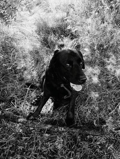 Dog Pets One Animal Domestic Animals Animal Themes Mammal Day No People Outdoors LabradorLove Nature Animal Love Dogslife