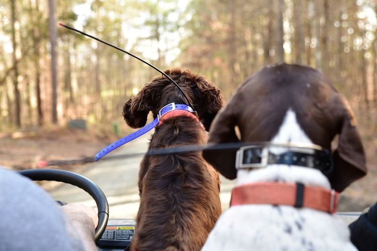 Trail riding with hunting dogs