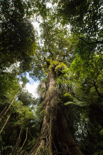 massive three in new zealand Kaitoke regional park Bark Beauty In Nature Branch Day Directly Below Forest Green Color Growth Land Low Angle View Nature New Zealand No People Non-urban Scene Outdoors Plant Rainforest Scenics - Nature Tranquil Scene Tranquility Tree Tree Canopy  Tree Trunk Trunk WoodLand The Great Outdoors - 2018 EyeEm Awards