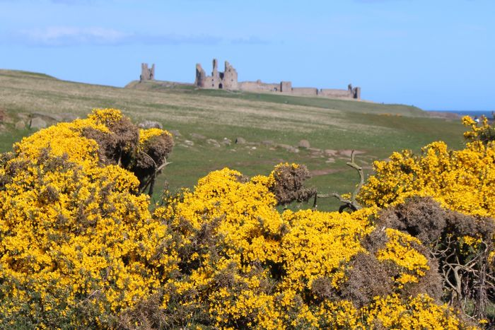 Castles in the sun Nature Landscape Beauty In Nature Tranquility Tranquil Scene Yellow Field Day Scenics No People Outdoors Plant Agriculture Rural Scene Flower Sky Geography Dunstanburgh Castle Northumberland Coastal Walk Hiking
