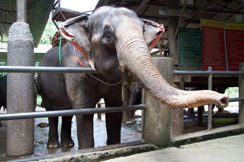 Éléphant à Chiang Mai - Thaïllande Elephant Zoo Nature Chiang Mai Thaïlande