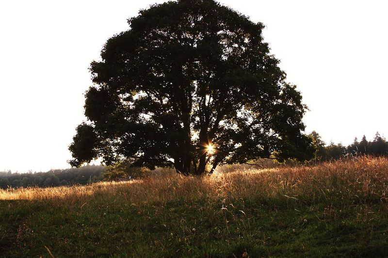 Tree Grass No People Nature Growth Outdoors Beauty In Nature Sky Day Freshness Green Summer Trees And Sky Sundown Sunray Sunrays Through The Branches Mountain Beauty In Nature EyeEm Best Shots - Nature Landscape Rural Scene Growth Field Grass Meadow
