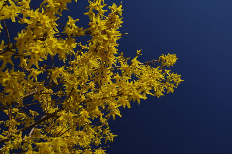 Yellow and blue Blue Clear Sky Forsythia Flowers Growth Nature No People Outdoors Tree Yellow