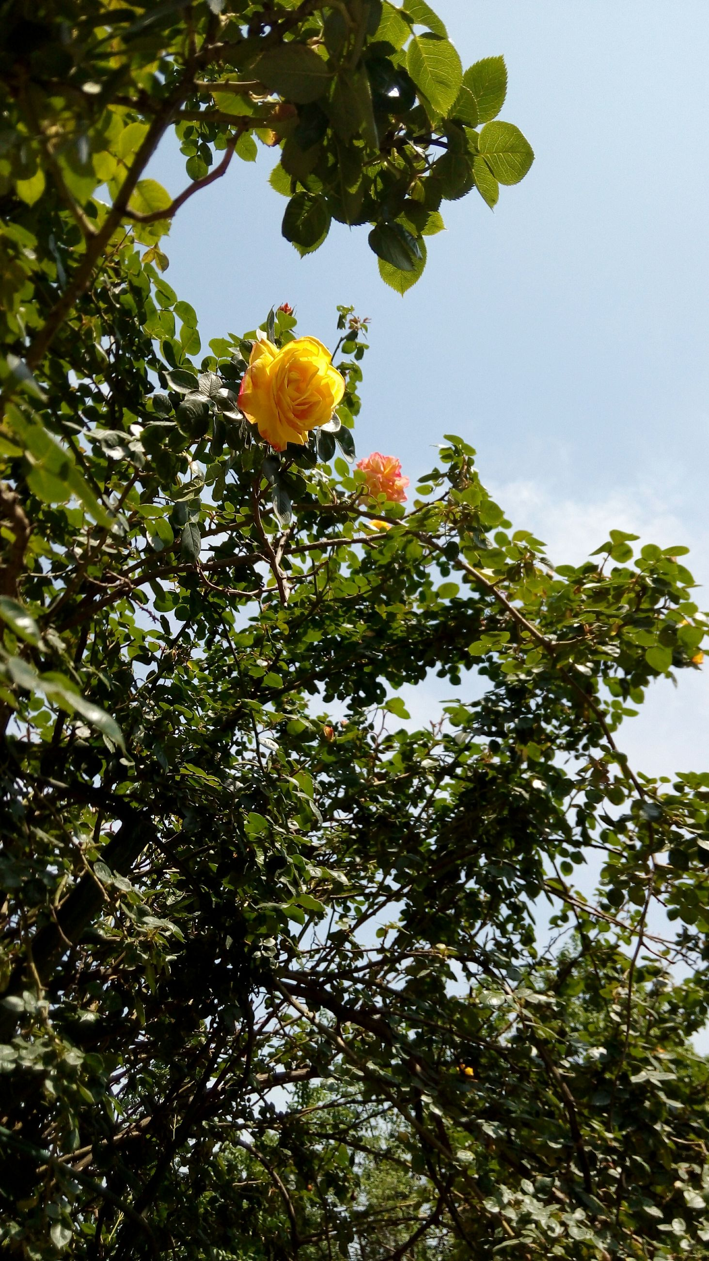 low angle view, growth, flower, tree, yellow, freshness, leaf, beauty in nature, sky, branch, fragility, nature, green color, blooming, petal, blossom, clear sky, in bloom, day, outdoors