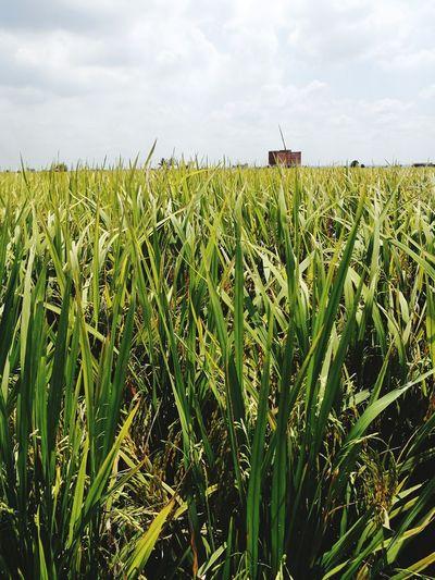 Paddy Field Site A: Harvest Season