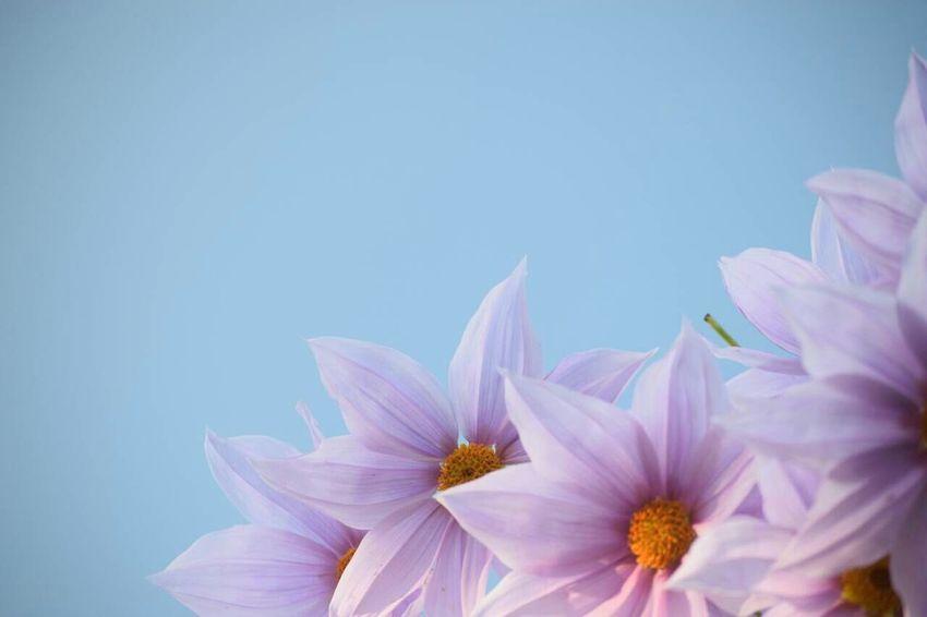 Flower Pink Flower 皇帝ダリア