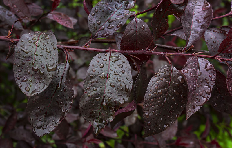 Leaves and Raindrops Beauty In Nature Raindrops Rainddrops On Purple Leaves Nature Spring Foliage With Raindrops Leaves