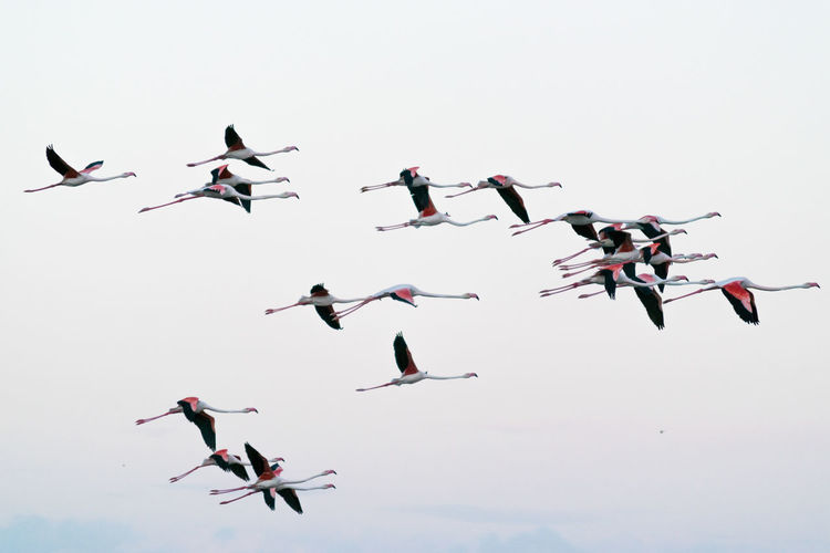 Low angle view of flamingos flying