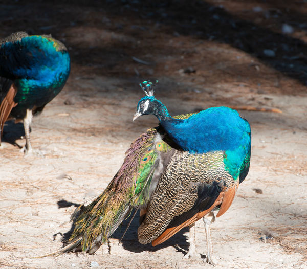 Wild colorful peacocks, little kittens in peacock forest plaka on kos greece