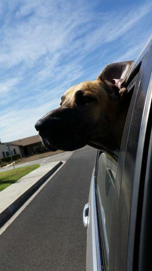 Tyson is feeling the wind in his ears! EyeEm Best Shots I Love My Dog Great Dane Eye Em Best Shots Adapted To The City