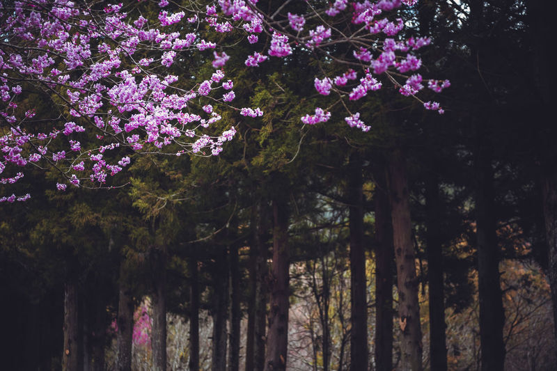 Purple flowering trees in forest