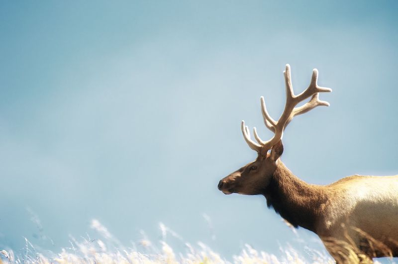 Low angle view of elk against sky