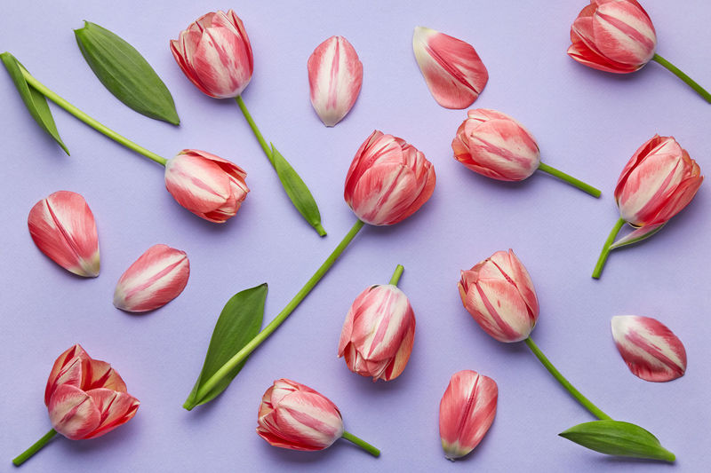 High angle view of red tulips on white background