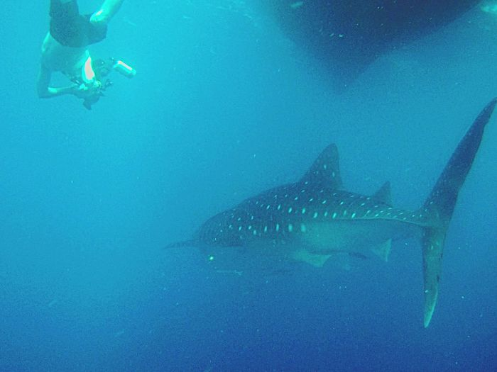 Maldives Whaleshark Diving Scuba Diving Check This Out Enjoying Life Sea