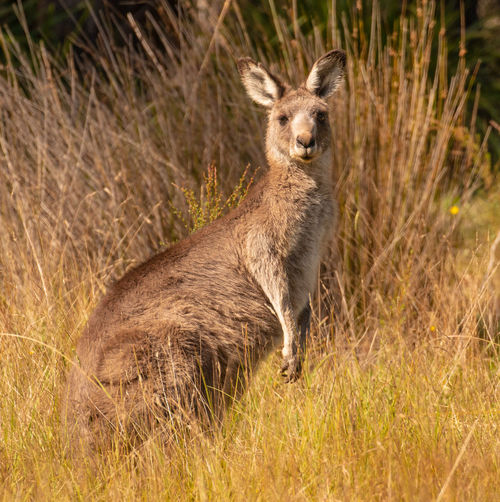 What? Animal Wildlife Animals In The Wild One Animal Grass Mammal No People Nature Portrait Plant Day Side View Vertebrate Non-urban Scene Outdoors Standing Looking At Camera Kangaroo Profile View Semi-arid Herbivorous Jason Gines