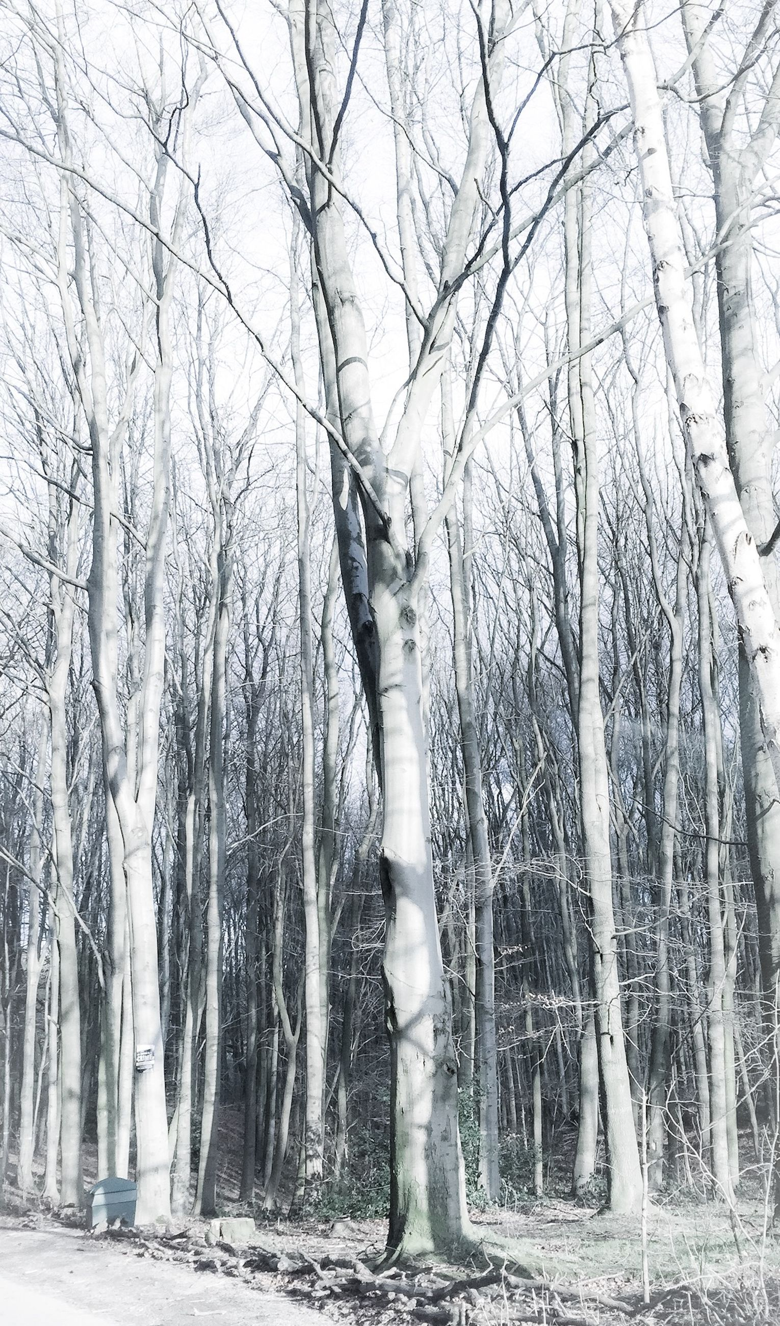 tree, tree trunk, bare tree, tranquility, winter, branch, nature, cold temperature, tranquil scene, snow, forest, woodland, growth, scenics, beauty in nature, season, low angle view, outdoors, day, park - man made space