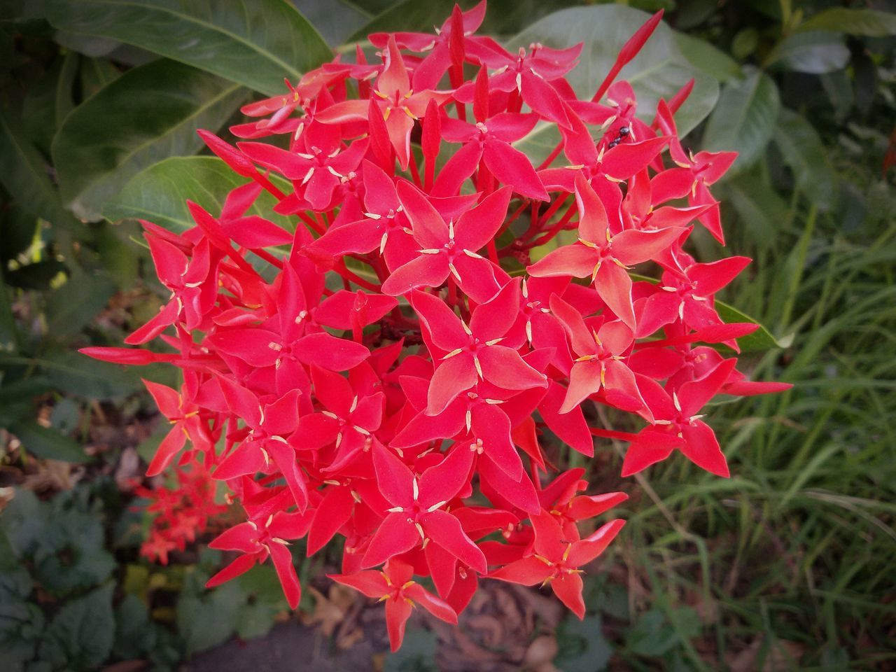 red, ixora, growth, flower, beauty in nature, petal, freshness, nature, focus on foreground, fragility, flower head, day, blooming, close-up, plant, outdoors, no people