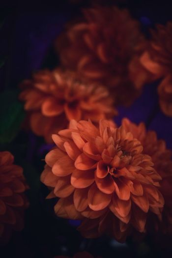 Dahlia Dahlia Flowers Dahlia Flower Background Backgrounds Vulnerability  Flowering Plant Fragility Flower Close-up Flower Head Plant Inflorescence Petal Freshness Beauty In Nature Growth No People Focus On Foreground Nature Orange Color Selective Focus Night Outdoors Bunch Of Flowers