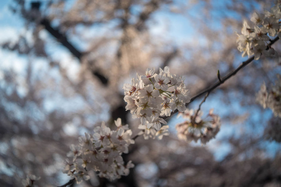 Beauty In Nature Cherry Blossom Day Flower No People Outdoors Springtime