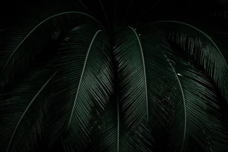 Palm leaves on dark background in the jungle. dense dark green leaves in the garden.