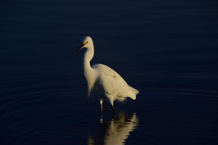 Bird Florida Fort Desoto Park Nature Snowy Egret Wading Bird White