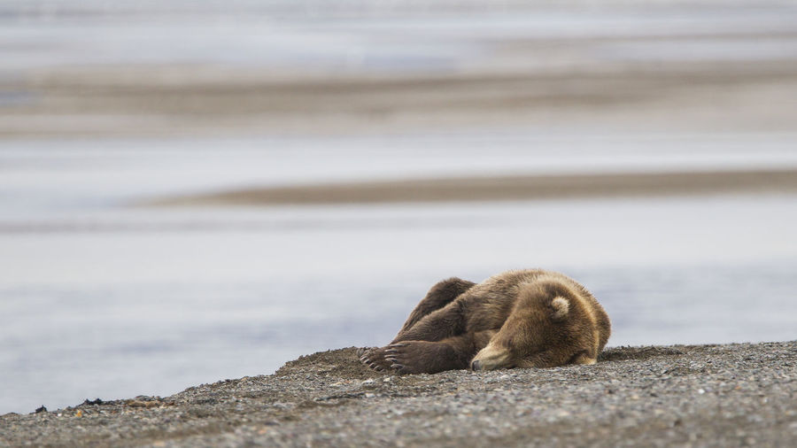 Grizzly bear resting at beach