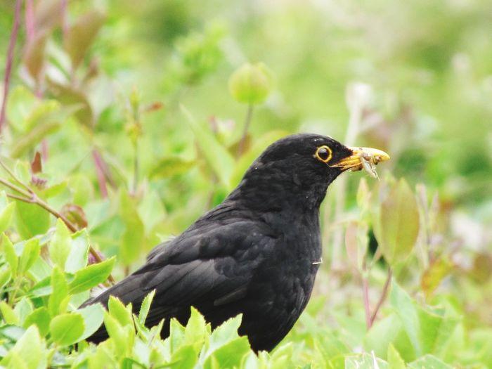 Hedge Garden Photography Summertime Bird Raven - Bird Blackbird Bird Of Prey Black Color Full Length Songbird  Close-up Grass