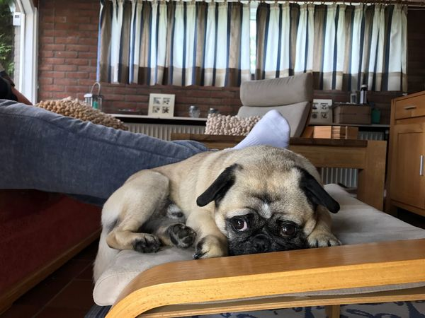 Typical property of the pug lie with contact Dog Pets Typical Property Pug Animal Themes Puppy Man Person Unknown Legs Feet Beside Near Laying Friend Love Contact Behavior Home Living Room Calm Relaxing Couch Security Pet Portraits