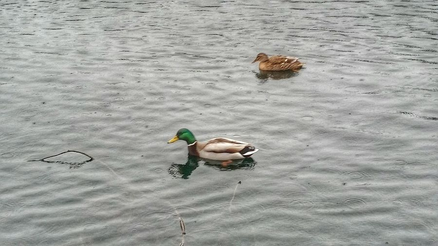 At The Park Water Ducks Chelmsford Raining