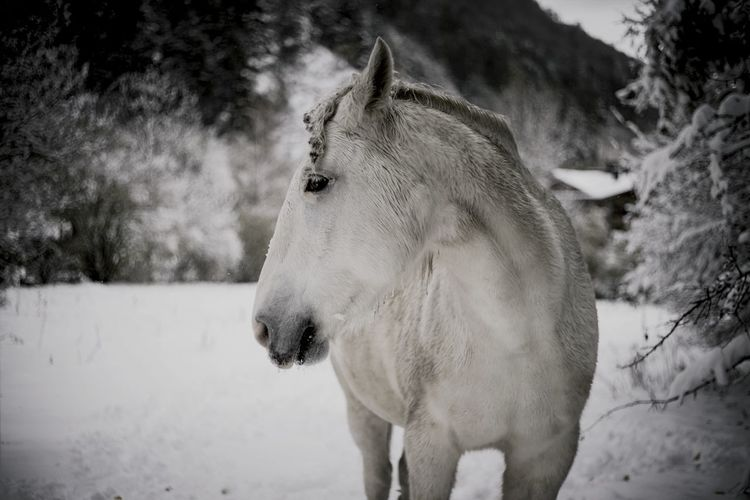 White horse on snowy landscape